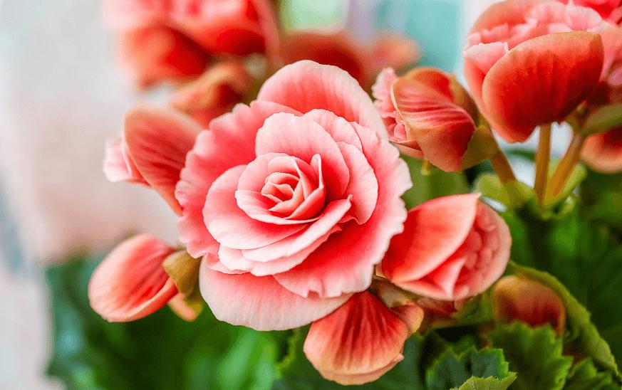 Begonia con flor