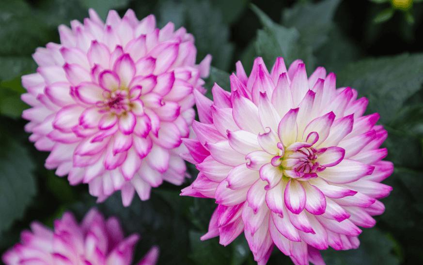 Dalias con flor blanca y rosada