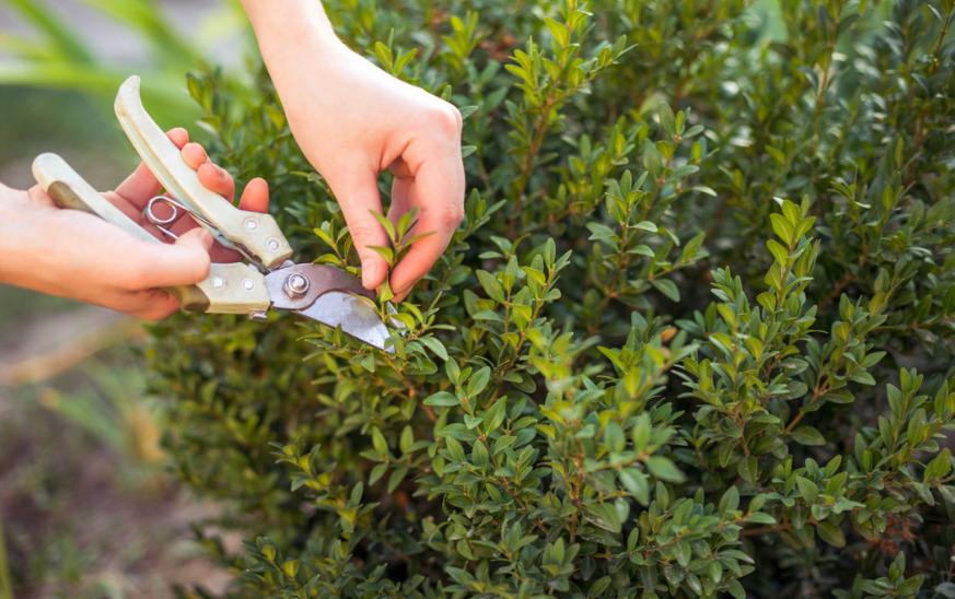 Boj, arbusto de exterior fácil de cuidar