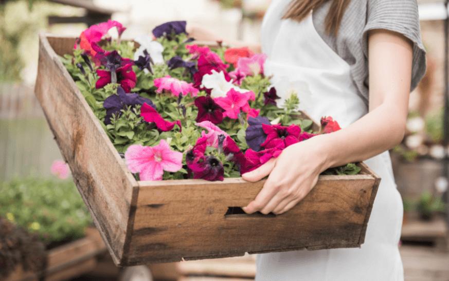Petunias en una caja de madera sostenida por una mujer, plantas de exterior resistentes para terrazas