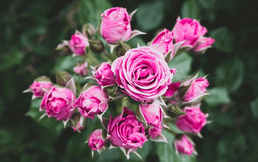Rosas, plantas de exterior resistentes para terrazas